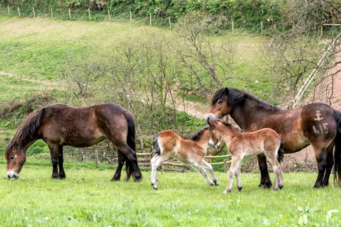 2015 mounsey Bunting and Syrup colt foals-carol Pike